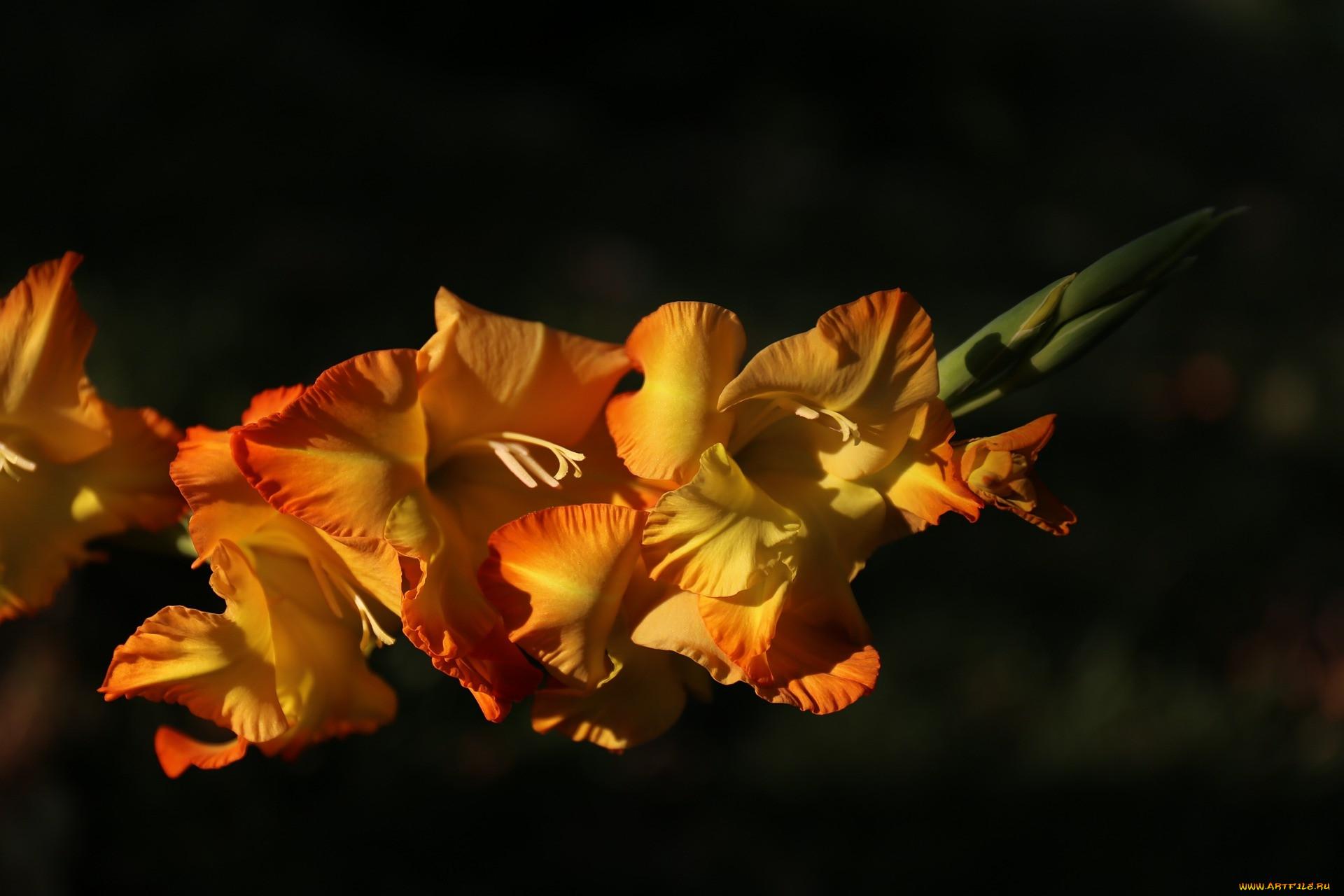 цветы, гладиолусы, гладиолус